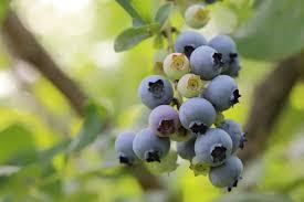 myrtilles vraies (Vaccinium myrtillus)