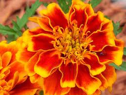la rose de l'inde source de la lutéine